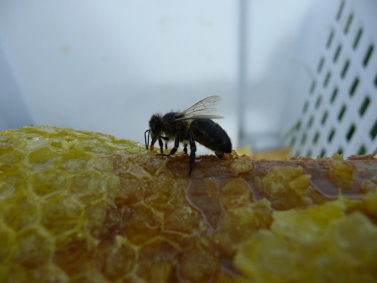 La santé de l'abeille en Loire Atlantique